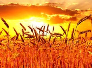 Golden Corn Field papel de parede para celular