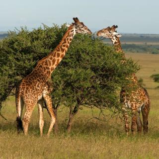 Giraffe in Duba, Botswana - Obrázkek zdarma pro iPad 2