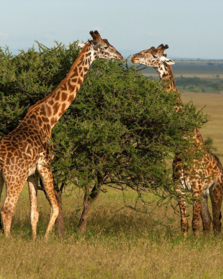 Giraffe in Duba, Botswana - Obrázkek zdarma pro iPhone 5