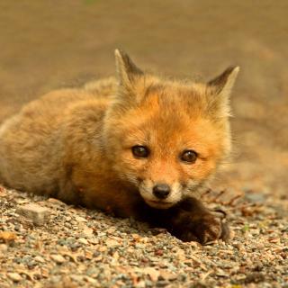 Little Fox - Obrázkek zdarma pro iPad 2