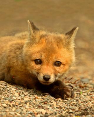 Little Fox - Obrázkek zdarma pro Nokia C1-01