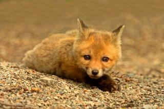 Little Fox - Obrázkek zdarma pro Sony Xperia Tablet Z