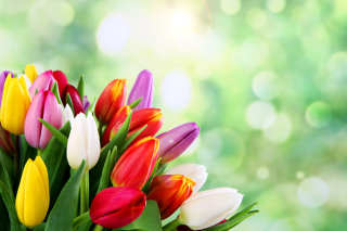 Bouquet of colorful tulips - Obrázkek zdarma pro Widescreen Desktop PC 1280x800