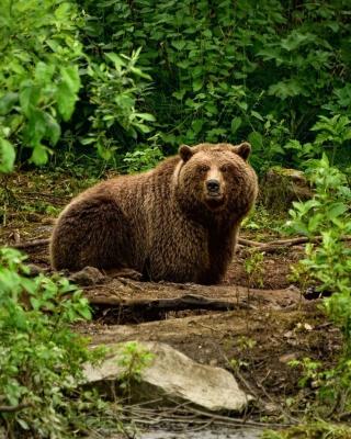 Bear Wildlife - Obrázkek zdarma pro Nokia Lumia 1020