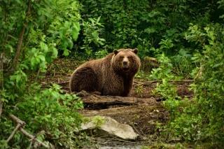 Bear Wildlife - Obrázkek zdarma pro 1366x768
