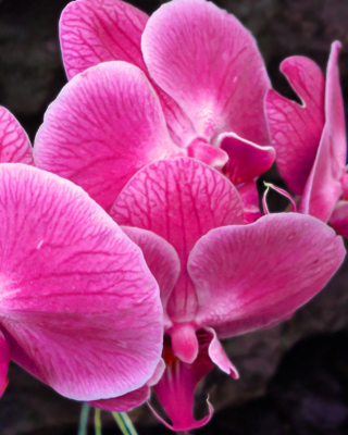 Pink orchid - Obrázkek zdarma pro Nokia Asha 300