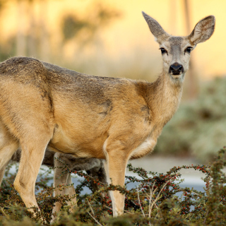 Wildlife Deer - Obrázkek zdarma pro 320x320