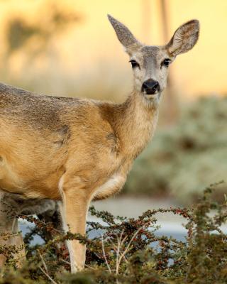 Wildlife Deer - Obrázkek zdarma pro Nokia Asha 300