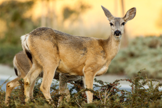Wildlife Deer Wallpaper for Android, iPhone and iPad