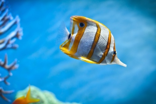 Copperband Butterfly Fish Background for Android, iPhone and iPad
