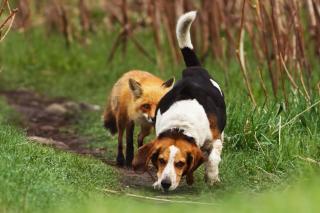 Hunting dog and Fox - Obrázkek zdarma pro HTC One X