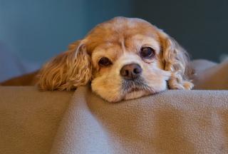 Sad Spaniel Puppy papel de parede para celular