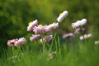 Daisies Meadow Wallpaper for Android, iPhone and iPad