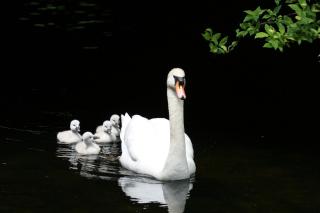 Swan Family - Obrázkek zdarma pro Nokia X5-01
