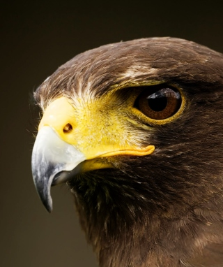 Eagle - Obrázkek zdarma pro Nokia Asha 308