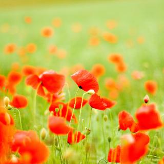 Poppy Field - Obrázkek zdarma pro iPad