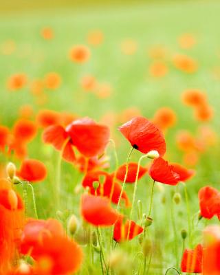 Poppy Field - Obrázkek zdarma pro 352x416