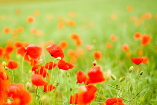 Poppy Field - Obrázkek zdarma pro 1440x1280