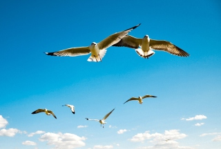 Pigeons Flying In Blue Sky Background for Android, iPhone and iPad