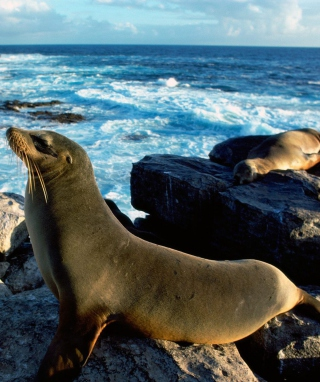 Seal And Stones - Obrázkek zdarma pro 352x416