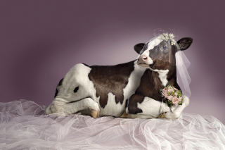 Bride Cow Wallpaper for Android, iPhone and iPad
