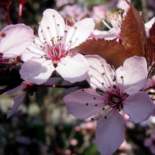 Pink Spring Tree - Obrázkek zdarma pro iPad mini 2