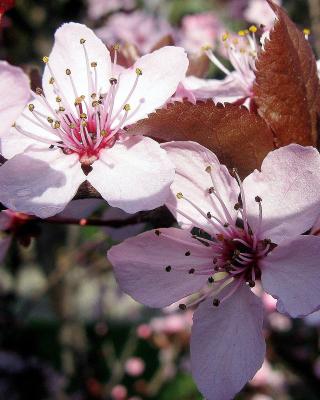 Pink Spring Tree - Obrázkek zdarma pro Nokia Asha 503