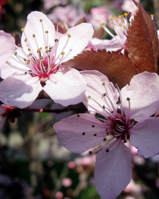 Pink Spring Tree - Obrázkek zdarma pro Nokia Lumia 610