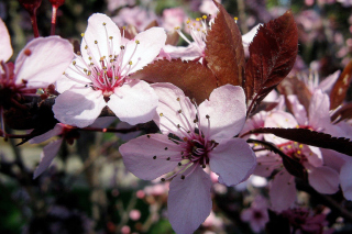 Pink Spring Tree - Obrázkek zdarma pro 1152x864