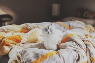 White Cat With Blue Eyes In Bed - Obrázkek zdarma pro 1366x768
