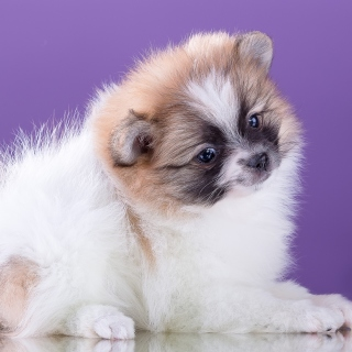 Spitz puppy - Obrázkek zdarma pro iPad Air