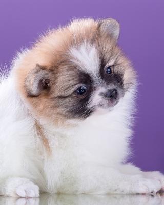 Spitz puppy - Obrázkek zdarma pro 320x480