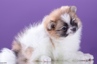 Spitz puppy - Obrázkek zdarma pro 480x320