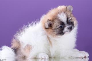 Spitz puppy - Obrázkek zdarma pro Samsung Galaxy Tab S 8.4