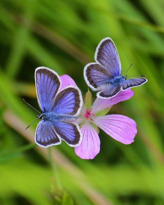 Butterfly on Grass Bokeh Macro - Obrázkek zdarma pro Nokia Asha 305