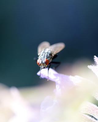 Fly Macro - Obrázkek zdarma pro 640x960