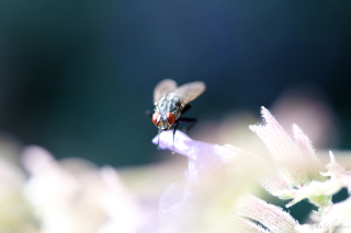 Fly Macro Wallpaper for Android, iPhone and iPad