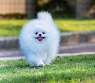 Pomeranian - Obrázkek zdarma pro iPad Air