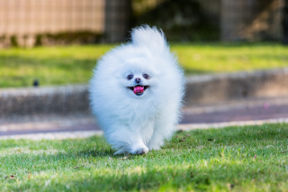 Pomeranian Wallpaper for Android, iPhone and iPad