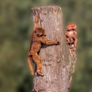 Guenon primate monkeys - Obrázkek zdarma pro iPad 3