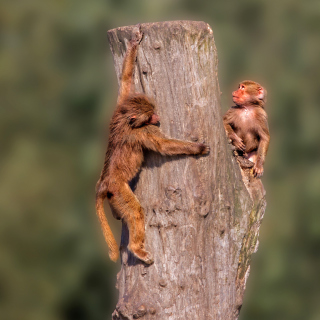 Guenon primate monkeys - Obrázkek zdarma pro 128x128
