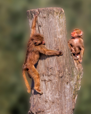 Guenon primate monkeys - Obrázkek zdarma pro 176x220