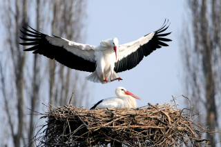 Stork Wallpaper for Android, iPhone and iPad