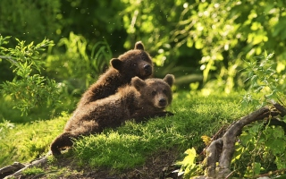 Two Baby Bears Background for Android, iPhone and iPad