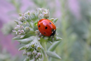 UK Ladybird Background for Android, iPhone and iPad