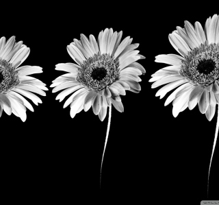 Gerbera Flowers - Obrázkek zdarma pro 1024x1024