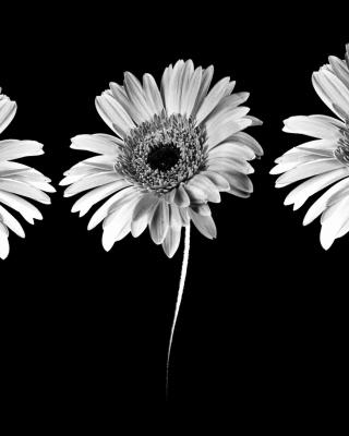 Gerbera Flowers - Obrázkek zdarma pro Nokia C5-03
