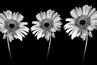 Gerbera Flowers Wallpaper for Android, iPhone and iPad