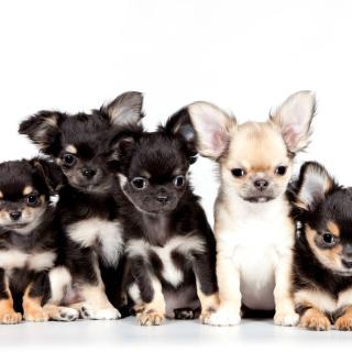 Chihuahua Puppies - Obrázkek zdarma pro iPad mini