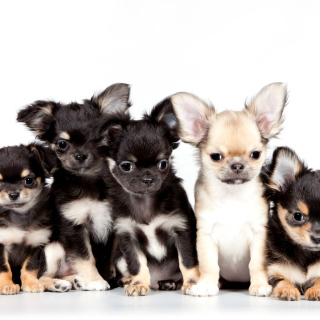 Chihuahua Puppies - Obrázkek zdarma pro iPad 3